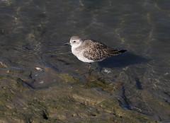 Grey Plover (Wild Chroma) Tags: pluvialis squatarola pluvialissquatarola plover birds waders nonpasserines ludo faro portugal riaformosa
