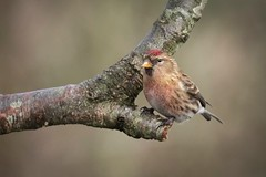 Redpoll (Esox2402) Tags: redpoll wildlife bird branch canon7dmkii sigma150600mm