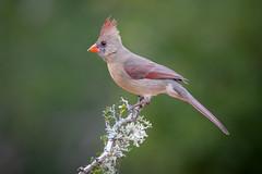 Female Northern Cardinal with dirty bill! (tspine) Tags: northerncardinal santaclararanch texas