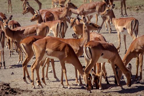 Impala, Ol Pejeta Conservancy, Kenya
