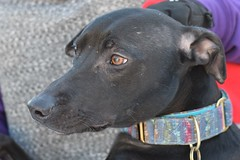 SMithy (3) (AlmostHome_Dog) Tags: almost home dog rescue north wales whippet staffie staffordshire bull terrrier
