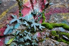 DSC_8168 (griecocathy) Tags: macro végétations tag lierre mousse mur roche vert rouge jaune bleu gris rose crème