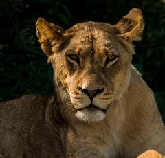 The Stare (selvagedavid38) Tags: lion stare eyes chobe botswana safari africa bigcat bigfive