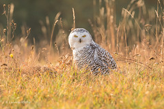 Snowy Owl - Autumn sunrise D85_6144.jpg (Mobile Lynn) Tags: birds owlsrelatives snowyowl owl autumnal nature autumn bird buboscandiacus fauna strigiformes whiteowl wildlife nocturnal coth specanimal ngc coth5 npc