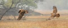 Marsh Harrier in flight (mahesh.kondwilkar) Tags: avifauna bharatpur birds keoladeo keoladeonationalpark rajasthan marshharrier