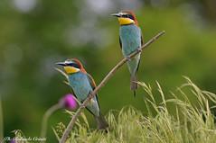 Gruccione _040 (Rolando CRINITI) Tags: gruccione uccelli uccello birds ornitologia avifauna santalbanostura natura