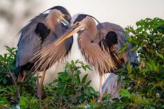 Fabulous Great Blue Couple (DonMiller_ToGo) Tags: greatblueherons wildlife venicerookery heron nature onawalk birds outdoors animals birdwatching d810 rookery florida