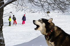 """Pourquoi il crie comme ça ce chien ?"" ( ""Why is this dog barking like that ? "") (Larch) Tags: chien dog skieur coursdeski sledgedog impatience impatient chiendetraineau neige snow winter hiver aboiement barking bruit noise février february montagne mountain alps alpes coursdski skilesson"