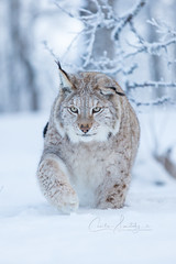 Hunting (CecilieSonstebyPhotography) Tags: catfamily portrait eurasianlynx lynx winter endangered closeup cat canon snow norway gaze markiii gaupe beautiful langedrag canon5dmarkiii ef70200mmf28lisiiusm animal eyes january walk specanimal