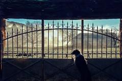 Au cinéma ce soir : j'aime bien mes moutons (Isa-belle33) Tags: animal dog chien border bordercollie sheep mouton fujifilm sunrise fog foggy brouillard brume trees arbres house maison capagne