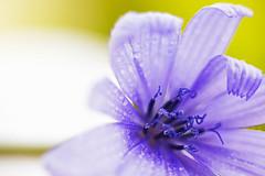 I fiori e la solitudine e la natura non ci deludono mai; non chiedono nulla e ci confortano sempre. (Stella Gibbons) (thescourse) Tags: macro flower petals petali drops macromarvels canoniani canoneos5dmkii eos5dmkii extensiontube canonitalia canondslr colors canon fiore flowers
