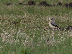 Wheatear (Male) (ukstormchaser (A.k.a The Bug Whisperer)) Tags: wheatear wheatears uk bird birds animal animals wildlife milton keynes bucks buckinghamshire field grass fields afternoon march spring winter male ground