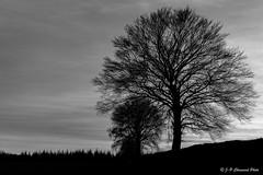 Ombre chinoise (jipebiker) Tags: waimes provincedeliège belgique nb bw noirblanc blackandwhite arbre tree contrejour backlight sunset coucherdesoleil paysage landscape