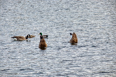 Bottoms-up, Canada Goose (Branta canadensis) and a pair of Mallards (Anas platyrhychos) at Sullivan's Pond, Dartmouth Nova Scotia (internat) Tags: 2019 canada novascotia ns dartmouth sullivanspond bird canadagoose mallard brantacanadensis anasplatyrhychos aurorahdr hdr eosm5