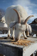 Goats snacking (massdistraction) Tags: goats goatfarm stpatricksday party saunaparty march snow winter outside friends fun goat farm farmparty sauna rural country