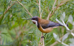 Eastern Spinebill, Adelaide Hills - South Australia (Trace Connolly Photography) Tags: bird australia natur natura natural nature naturaleza naturephotography colour color colourful outdoor outdoors outside eos canon fauna sunlight exposure animal flickr environment environmental environmentalphotography contrast red green yellow blue black white orange purple pink spinebill easternspinebill leaf animals