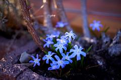 Spring...Finally (NoNickMan) Tags: spring frühling blumen pflanzen bayern germany bavaria flower flowers plant plants sony a7r iii sigma 40mm