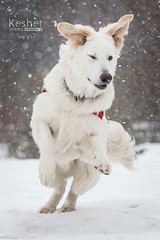 Picture of the Day (Keshet Kennels & Rescue) Tags: adoption dog ottawa ontario canada keshet large breed dogs animal animals pet pets field nature photography winter german shepherd mix golden retriever snow jump ears
