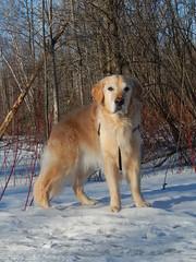 Sunny 13/52 (Lianne (calobs)) Tags: 52 weeks for dogs goldenretriever