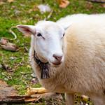 "Sheep <a style=""margin-left:10px; font-size:0.8em;"" href=""http://www.flickr.com/photos/132885244@N07/33696481078/"" target=""_blank"">@flickr</a>"