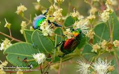 Pelidnota sumptuosa (Vigors, 1825) (Marquinhos Aventureiro) Tags: pelidnota sumptuosa scarabaeidae rutelinae besouro beetle wildlife vida selvagem natureza floresta brasil brazil hx400 marquinhos aventureiro marquinhosaventureiro serra canastra