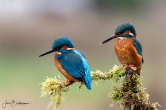 Mr & Mrs (Jans Bartholomew) Tags: kingfisher alcedoatthis