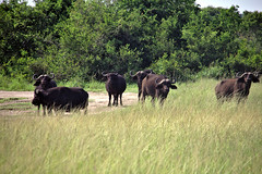 Thou Shall Not Pass! (pbr42) Tags: africa uganda mburo mburonationalpark nature nationalpark animal buffalo grass grassland herd