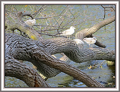 Out On A Limb (bigbrowneyez) Tags: birds branches river nature natura water wood sunny bright textures grainy rough fabulous striking bello bellissimo special amazing delightful wonderful trees alberi afternoon autumn foto ottawa rideauriver billings billingsbridge seagulls beautiful wildlife outonalimb