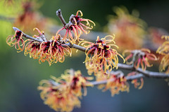 Winter Magic (Colormaniac too - Many thanks for your visits!) Tags: winter winterflower witchhazel january januaryflower yellow cheerful garden flower nature outdoors colorful pacificnorthwest olympicpeninsula washingtonstate topazstudio