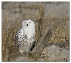 Snowy Owl (Redtail10025) Tags: snowy owl female ny raptors migration beaches