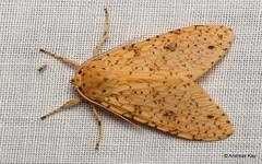 Tiger moth, Lophocampa sp., Erebidae (Ecuador Megadiverso) Tags: andreaskay arctiidae ecuador erebidae idbydominikhofer lophocampasp moth tigermoth wildsumaco