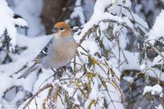 Durbec des sapins / Pine Grosbeak (Pierre Lemieux) Tags: durbecdessapins pinegrosbeak forêtmontmorency québec canada can female femelle hiver neige snow winter