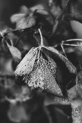 Pending Renewal (Katrina Wright) Tags: dsc3235 leaf skeleton veins frágil fragility filigree bw monochrome bokeh hmbt decay hydrangea