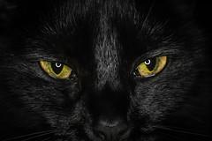 Angel eyes 12-02-19 (R.J.Boyd) Tags: nikon d7500 50mm f18 close up extension tube macro detail cat angel puss pussy feline pet eyes black