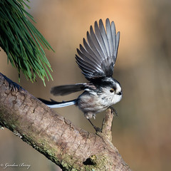 Long Tailed Tit 02-Feb-19 G_010 (gomo.images) Tags: 2019 bird country fife longtailedtit mortonlochs nature scotland years