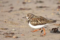 Turnstone (42jph) Tags: bird nature wildlife nikon d7200 sigma 150500 uk england northumberland coast beach sand whitley bay turnstone wader