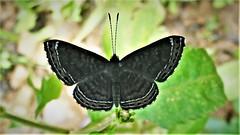 Detritivora gynaea (kirstenmatthiesen) Tags: broncini caranavi bolivia butterfly mariposa