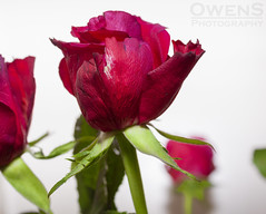 Red Rose 3 (OwenSPhotography) Tags: rose roses flower flowers red green stem white floral