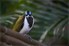 Angry Honeyeater (georg_dieter) Tags: australia honeyeater bluefacedhoneyeater queensland frasercoast bird australianbird