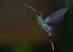 Green Hermit - male (anacm.silva) Tags: greenhermit ave bird hummingbird wild wildlife nature natureza naturaleza birds aves colibri bajosdeltoro costarica phaethornisguy