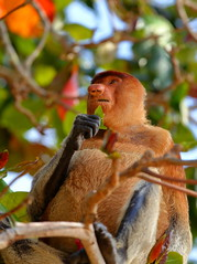 Proboscis monkey eating leaves (_JLC_) Tags: bako bakonationalpark borneo kuching sarawak asia malasia malaysia sudesteasiático naturaleza nature fantasticnature fauna wildlife canon canon6d 6d eos 70200f4is 70200 mono mononarigudo monkey proboscismonkey proboscis