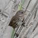 DSC_5772.jpg Fox Sparrow, Charleston Slough
