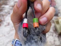 Banded Florida Scrub Jay (FWC Research) Tags: floridascrublay translocation ocalanationalforest seminolestateforest rockspringsreserve jonathandicksonstatepark scrubhabitat nonmigratory fwri fwc scrubjay birdbanding