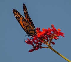 First Taste Of Spring (ACEZandEIGHTZ) Tags: winged insect flying spots nikon d3200 danausplexippus orangeandblack red jatrophaflowers nature brushfootfamily sky blue closeup macro monarch butterfly coth5 saariysqualitypictures sunrays5