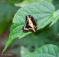 ThoasPage-01 (Borreltje.com) Tags: burgerszoo butterfly thoaspage vlinder zwart geel mangrove belise tropical butterflies