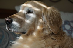 Sunny 14/52 (Lianne (calobs)) Tags: 52 weeks for dogs goldenretriever