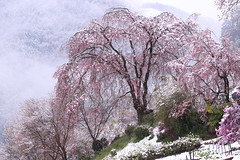 Cherry Blossoms in Snow (seiji2012) Tags: あきる野市 龍珠院 しだれ桜 雪 japan akiruno cherrytree cherryblossoms snow happyplanet asiafavorites