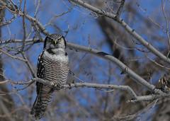 Northern Hawk Owl...#53 (Guy Lichter Photography - 4.4M views Thank you) Tags: owlnorthernhawk canon 5d3 canada manitoba winnipeg wildlife animal animals birds bird owl owls