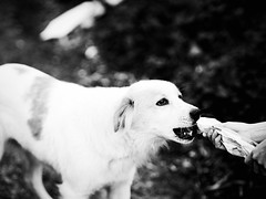 GFX0050 - Tiffany (Diego Rosato) Tags: tiffany eat mangiare mano hand stray dog cane randagio pet animale animal country campagna fuji gfx50r fujinon gf110mm rawtherapee bianconero blackwhite