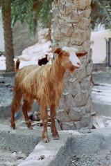 Oman 8 (Lennart Arendes) Tags: canon ae1 film analog 35mm kodak cinestill 50 d vision 3 fd 50mm wadi shab goat animal palm tree